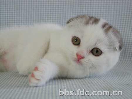 粉可爱的折耳猫