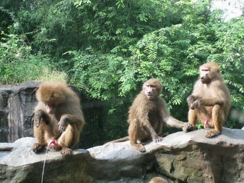 新加坡动物园的狒狒