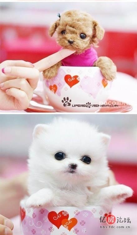 最小的宠物狗狗——茶杯犬