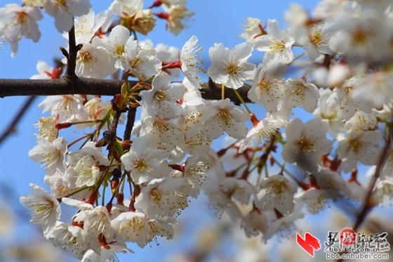 葛仙山风景区万亩野樱花,这完全是世外桃源啊.-咸宁