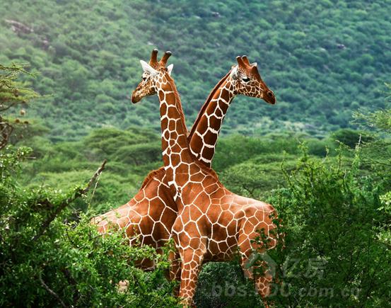 了一组长颈鹿的照片